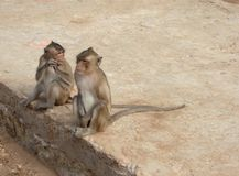 Dzikie małpy na małpiej wyspie Fotografia Royalty Free