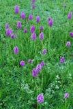 Dzikie moczar orchidee, ochraniający gatunki zdjęcie stock
