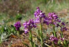 Dzikie orchidee w łące, Anacamptis morio zdjęcie stock