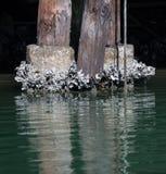 Dzikie ostrygi Obrazy Stock