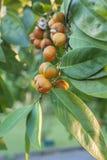 Dzikie owoc. Obraz Stock