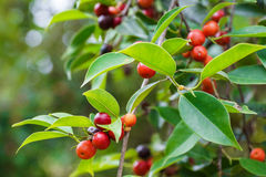 Dzikie owoc Obrazy Royalty Free