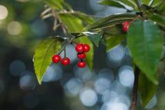 dzikie owoce Obraz Stock