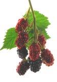 dzikie owoce jagodowe Zdjęcia Royalty Free