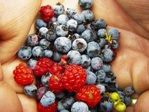 dzikie owoce jagodowe obraz royalty free