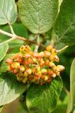 dzikie owoce jagodowe Fotografia Royalty Free
