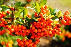 dzikie owoce jagodowe Zdjęcia Stock