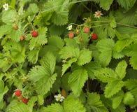 dzikie owoce jagodowe Obraz Stock