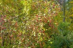 dzikie owoce jagodowe Zdjęcie Royalty Free