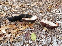 Dzikie Płaskie Śródpolne pieczarki Zdjęcia Stock