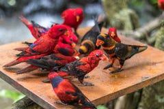 Dzikie papugi ptasie Kolorowa papuga w Bali zoo, Indonezja Fotografia Royalty Free