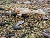 Dzikie pieczarki rodzinne w lesie Zdjęcia Royalty Free