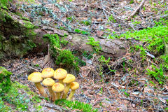 dzikie podłogowe lasowe pieczarki Obraz Stock