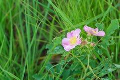 Dzikie preryjne róże - Rosa arkansana zdjęcia stock