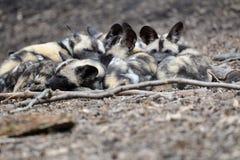 dzikie psie Afrykanin ciucie Zdjęcia Stock
