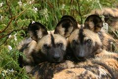 dzikie psy są bracia Zdjęcie Royalty Free