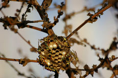 dzikie pszczół fotografia royalty free
