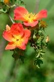 dzikie róże zdjęcie stock