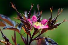 dzikie róże obraz royalty free