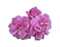 Dzikie róże, biodro lub kwiatu pączek, Obraz Royalty Free