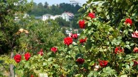 Dzikie róże są kwitnącym jaskrawym kolorem Obrazy Royalty Free