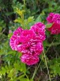 dzikie róże Zdjęcia Stock