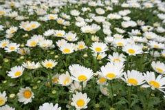 Dzikie stokrotki lub chamomile kwitnienie w polu zdjęcia stock