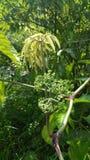 Dzikie tropikalne świrzepy obraz royalty free