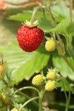 Dzikie truskawki. obraz stock