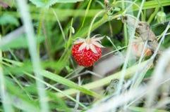 Dzikie truskawki Obraz Royalty Free