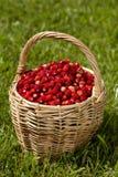 Dzikie truskawki w koszu Fotografia Royalty Free