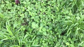 Dzikie truskawki w kwiacie zdjęcie wideo