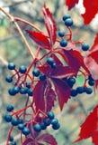 dzikie winogron obraz stock