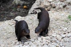 Dzikie wydry Zdjęcie Stock