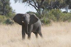 dzikie young słoni Obrazy Royalty Free