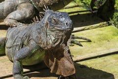 dzikie zwierzę Kierowniczy pospolitej iguany zbliżenie zdjęcia royalty free