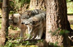 Dzikie Zwierzę Wilczej paczki pozycja Bawić się Północnoamerykańskiej przyrody Fotografia Stock