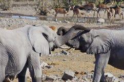 Dzikie zwierzęta Afryka: dwa słoni młody bawić się Obrazy Royalty Free