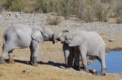 Dzikie zwierzęta Afryka: dwa słoni młody bawić się Zdjęcie Royalty Free