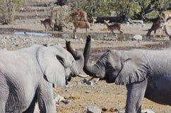 Dzikie zwierzęta Afryka: dwa słoni młody bawić się Zdjęcie Stock