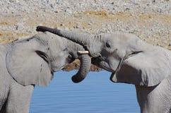 Dzikie zwierzęta Afryka: dwa słoni młody bawić się Obrazy Stock