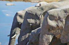 Dzikie zwierzęta Afryka: grupa słonie Obraz Stock