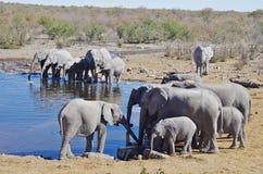 Dzikie zwierzęta Afryka: grupa słonie Fotografia Royalty Free