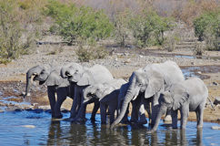 Dzikie zwierzęta Afryka: grupa słonie Obrazy Stock