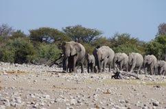 Dzikie zwierzęta Afryka: grupa słonie Zdjęcia Royalty Free