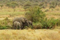 Dzikie zwierzęta Afryka: grupa słonie Zdjęcie Stock