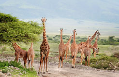 Dzikie zwierzęta Afryka, stado żyrafy krzyżuje drogę Obraz Stock