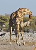 Dzikie zwierzęta Afryka: Żyrafy Obraz Stock