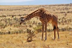 Dzikie zwierzęta Afryka: Żyrafy Zdjęcia Stock
