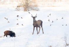 Dzikie zwierzęta na śniegu zdjęcia royalty free